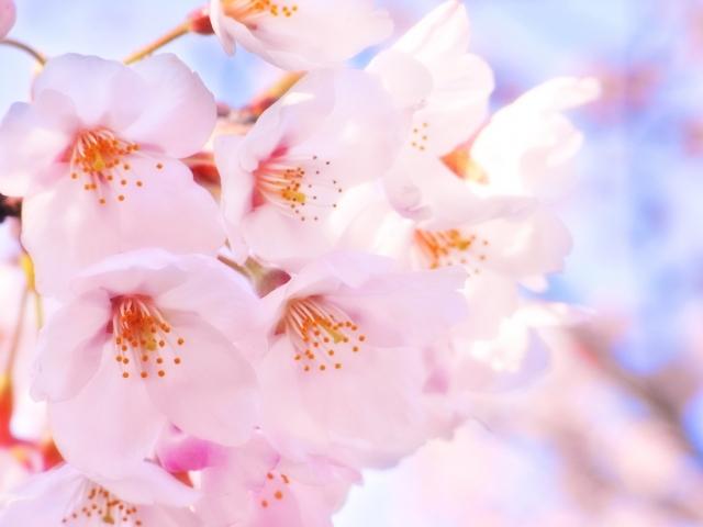 桜 オルゴール